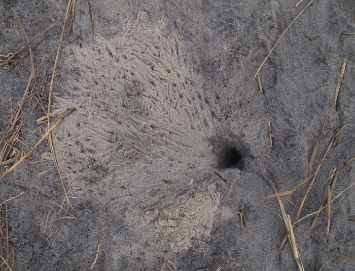 fiddler crab footprints