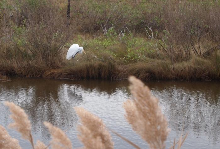 Egret at Snow Goose Pool