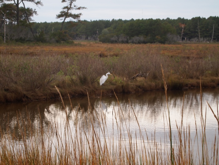 Egret at Snow Goose Pool