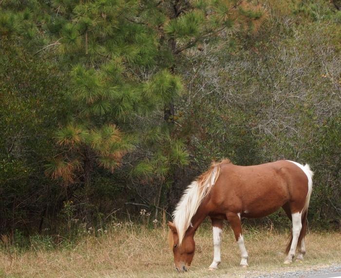 Wild pony on Assateague