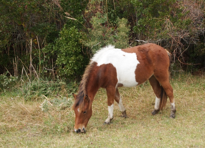 Wild pony on Assateague