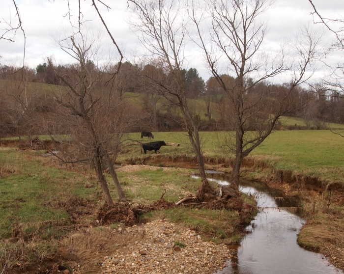 cows outside of Waterford, Virginia