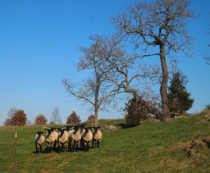 sheep at the Miller farm