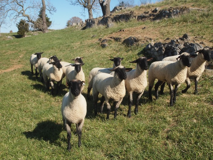 the sheep approach