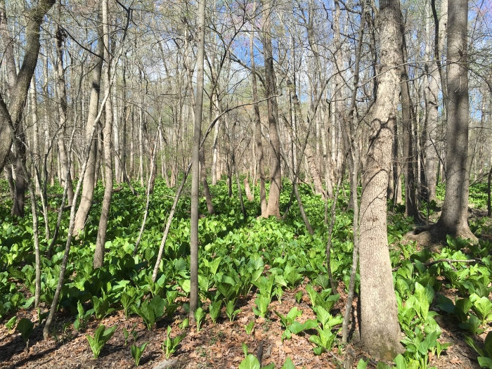 skunk cabbage galore
