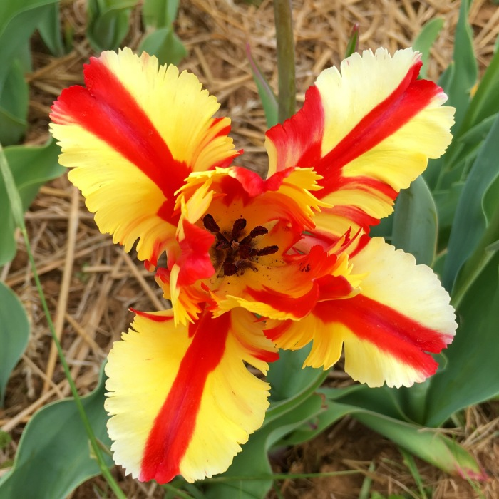 cartwheel tulip