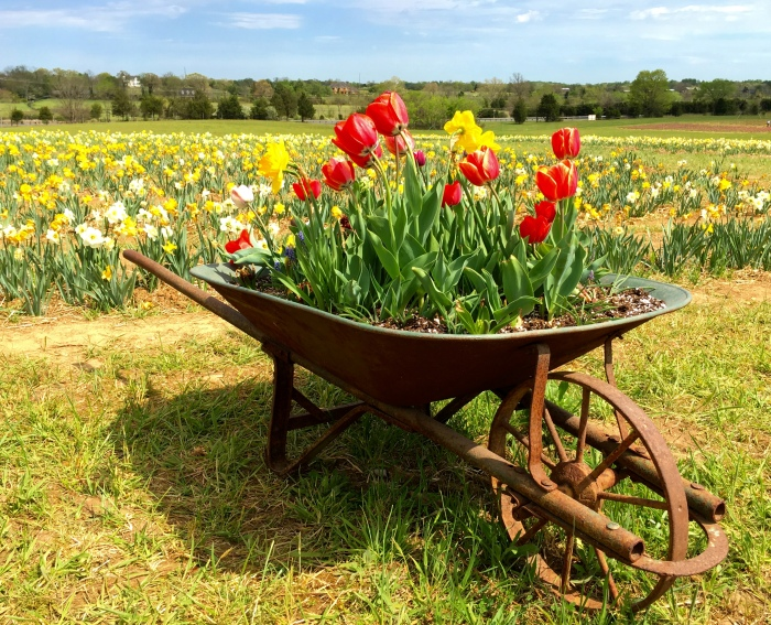 a wheelbarrow of tulips