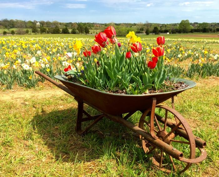 a wheelbarrow of tulips