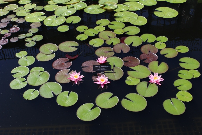 Waterlily Display