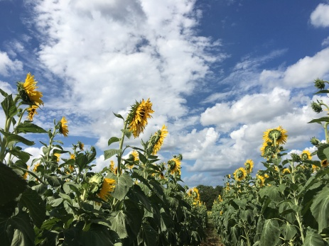 Sunflowers at Burnside Farms (iPhone 6s)