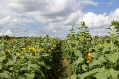 sunflowers CANON