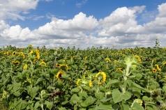 sunflowers CANON