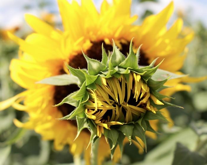 sunflowers CA
