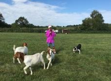 Border Collie goat herding