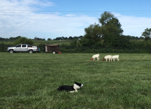 Border Collie goat herding