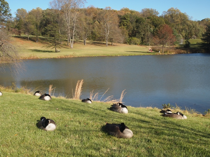 geese at rest