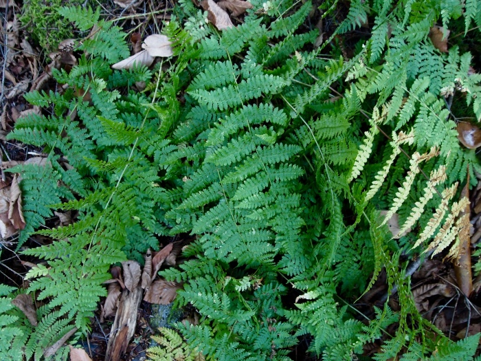 ferns on the Elakala Trail
