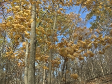 yellow trees at Hawksbill Gap