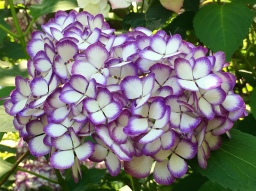 Purple & white hydrangea at Meigetsu-in