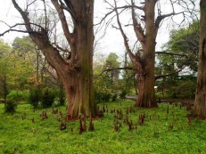 cypress knees and trees at Shinjuku Gyoen