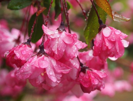 raindrops on blossoms at Shinjuku Gyoen
