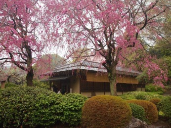 tea house under pink at Shinjuku Gyoen