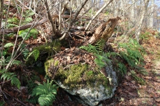 rocks in moss and ferns