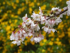 Sakura and yellow blooms at Shinjuku Gyoen