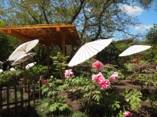 peonies, pergoals and umbrellas at Genji-ike in Kamakura