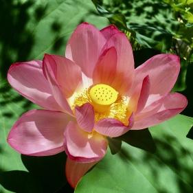 lotus at Toshodaiji Temple
