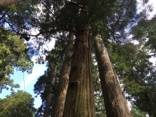 cedar trees at Okunoin