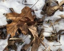 Drab leaf