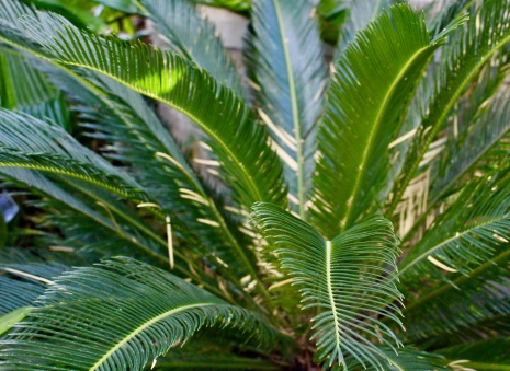 palm and cycad