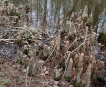 cypress knees at Jug Bay Wetlands