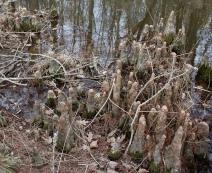 cypress knees at Jug Bay Wetlands